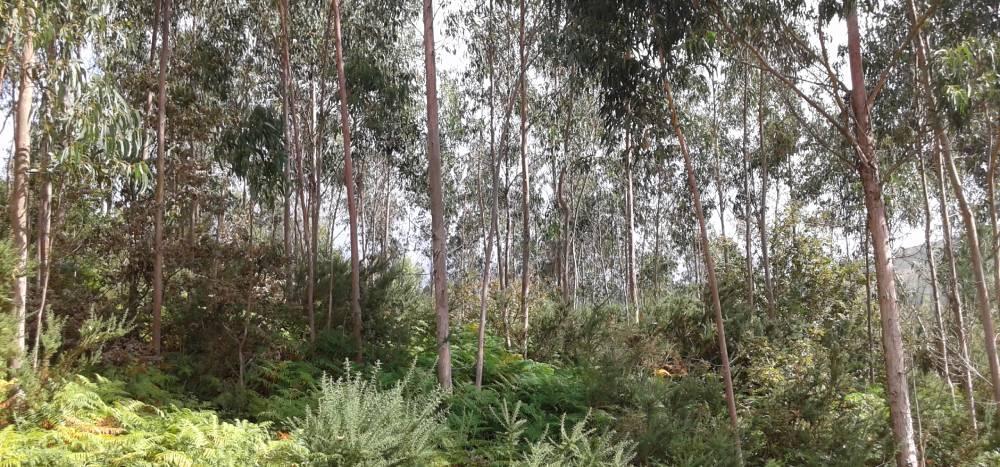 Finca forestal de eucaliptos sin gestionar