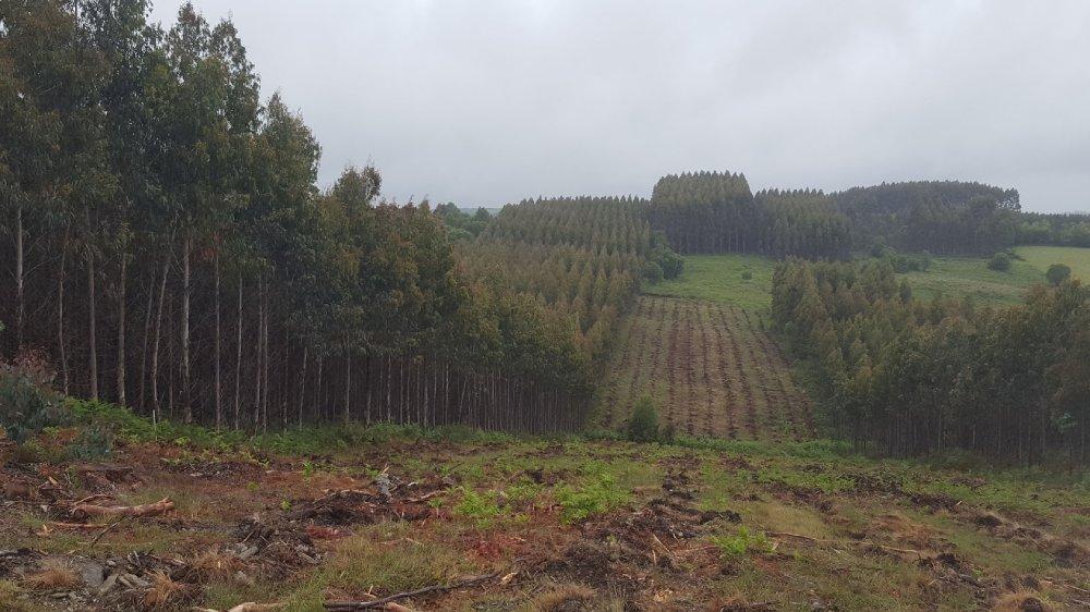 Plantación de eucalipto